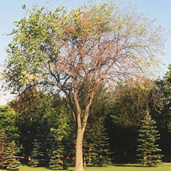 DED-diseased-American-elm